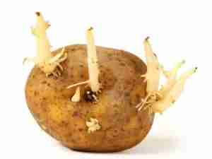 A chitted potato with bad buds - fragile, long and easy to break