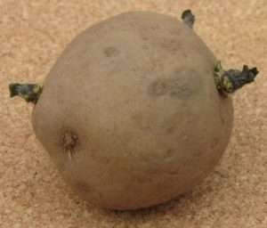 An example of a chitted potato with perfect buds - green and less than 1/2 inch long.