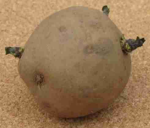a picture of a seed potato with 3 short green buds or chits - ideal for planting into soil