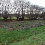 potatoes growing in a plot late in the year with trees with no leaves on them