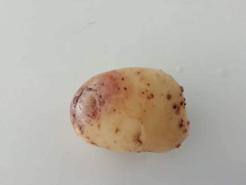 blight on a potato