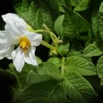 homemade potato blight spray