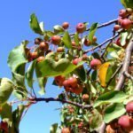 Are Crab Apples Poisonous To Dogs