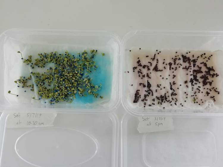 a seed germination experiment - how long it takes for old seeds vs new seeds to sprout