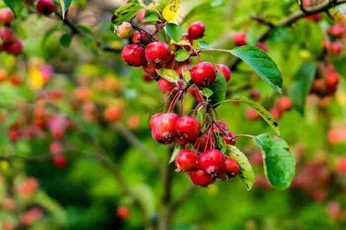 are crab apples poisonous to dogs pets