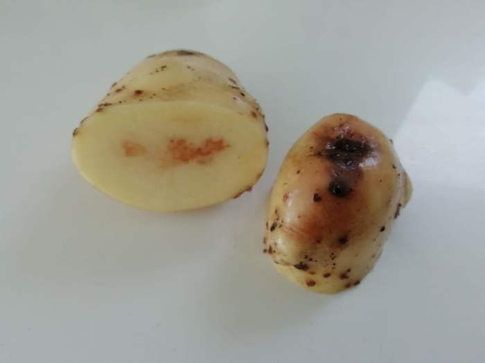 a white potato infected with blight