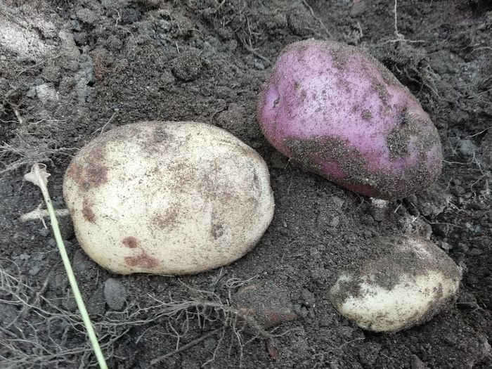 frshly dug potatoes about to be stored