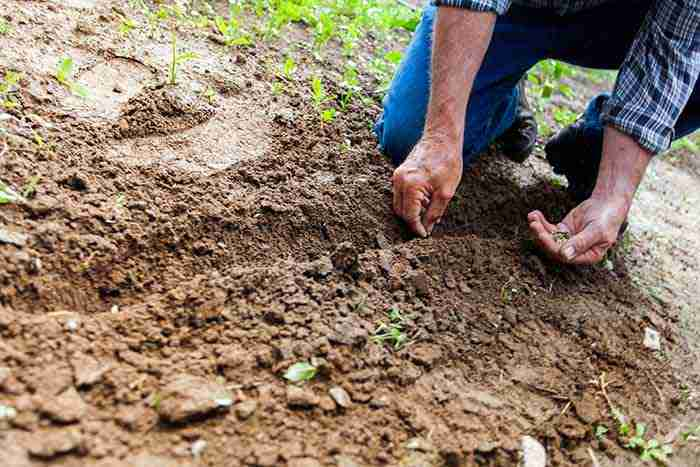 a man sowing seeds into tilled soil