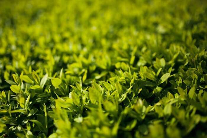 bright green box hedge leaves