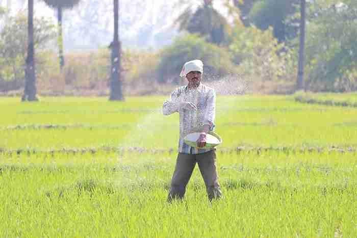 man scattering fertilizer on rice fields