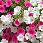 pink and white petunia