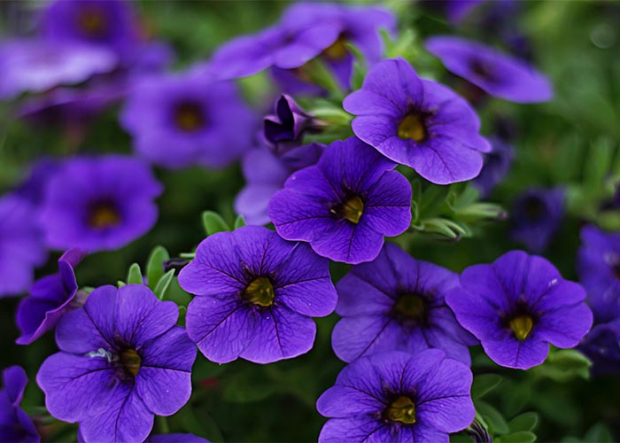 Grandiflora petunia purple flowers