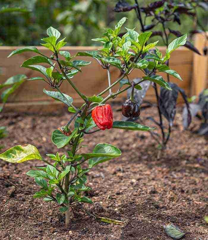 raised bed chili garden herbs
