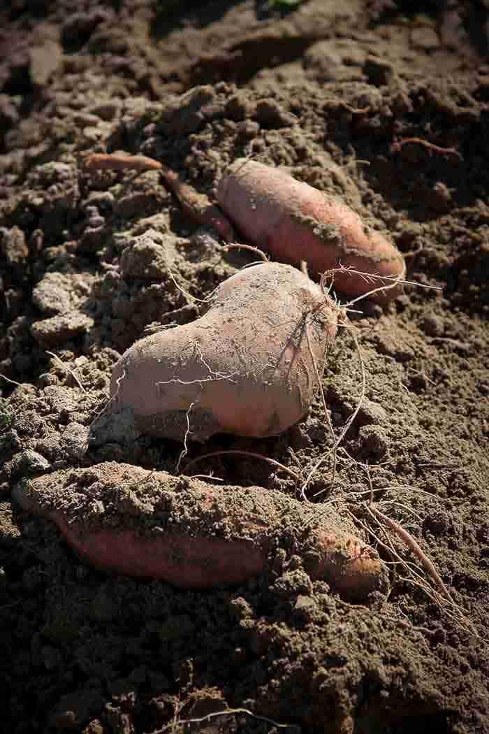 red sweet potato on brown soil