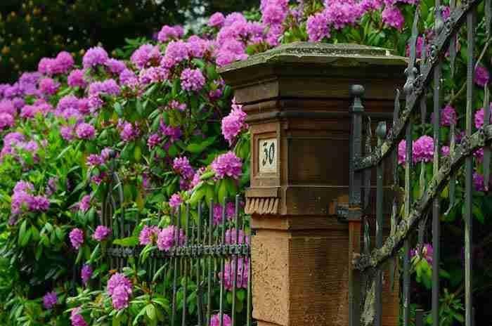 rhododendron garden spring-blossom