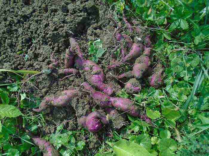 sweet potato being dug from the ground