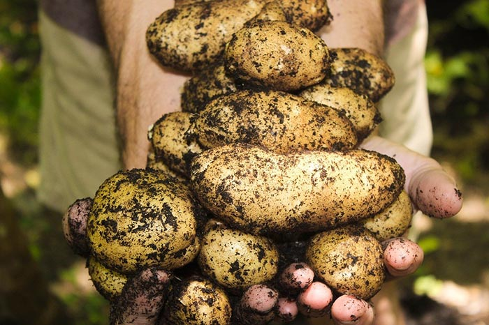 potatoes natural soil gardening