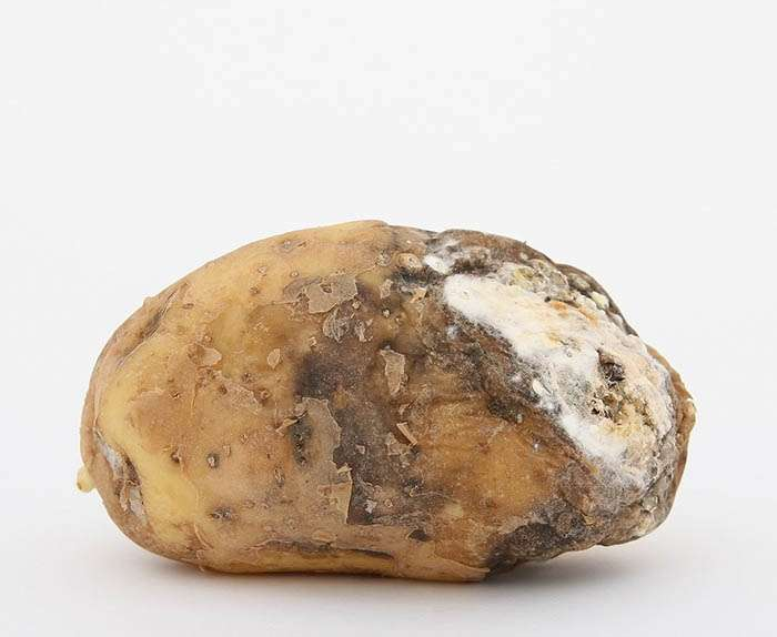 a bad rotten mouldy potato