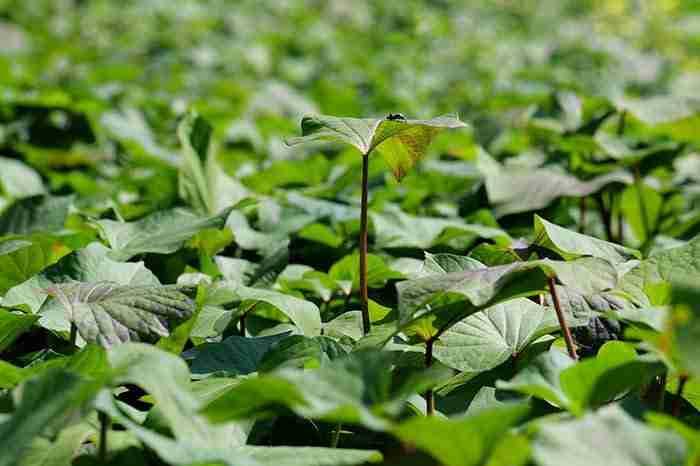 sweet potato plant leaves