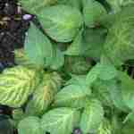 A potato plant with leaves which are turning yellow caused by lack of magnesium
