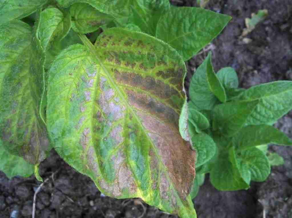 Waterlogged potato plant showing yellow and dying leaves