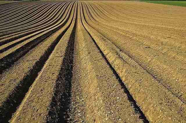 finely tilled soil in potato drills