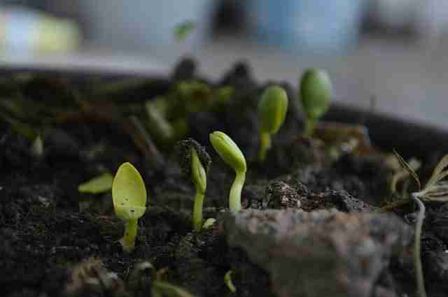 seedlings germinating in compost