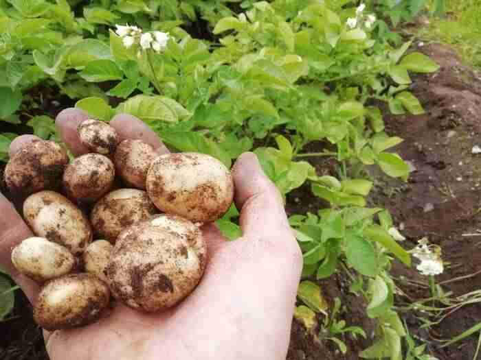 a hand holding potatoes which are becoming ready to eat