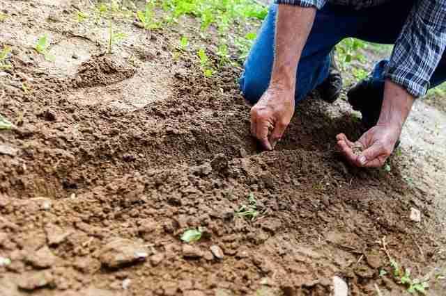 sowing seeds into lightly tilled soil