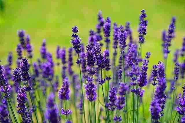 lavender flowers on a green grass background