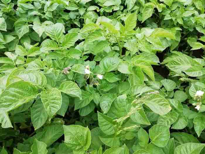 potato tops with the white flower bud getting ready to open