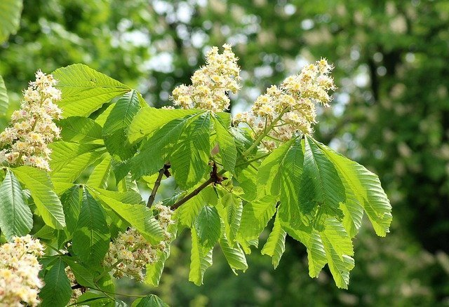 Horse chestnut tree branch showing green leaves and white flowers