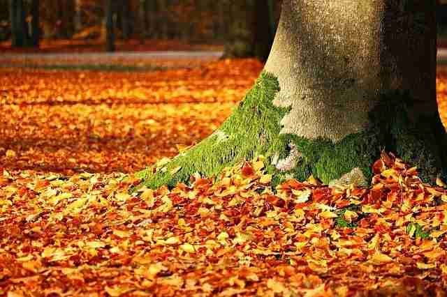 beech tree leaves in autumn laying on the forest floor