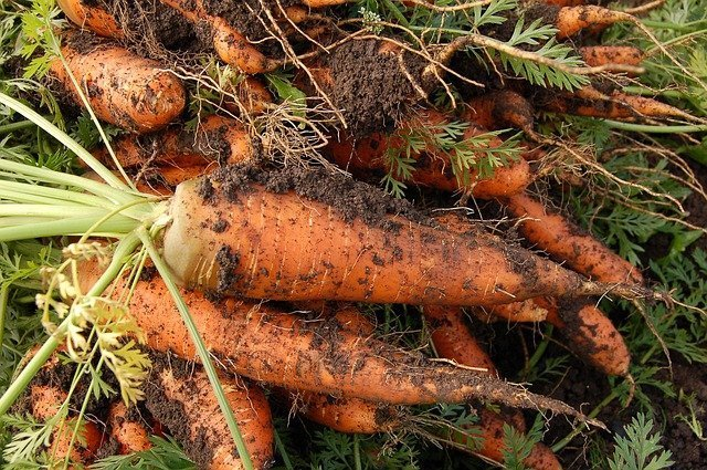 sandy soil sticking to a bunch of carrots