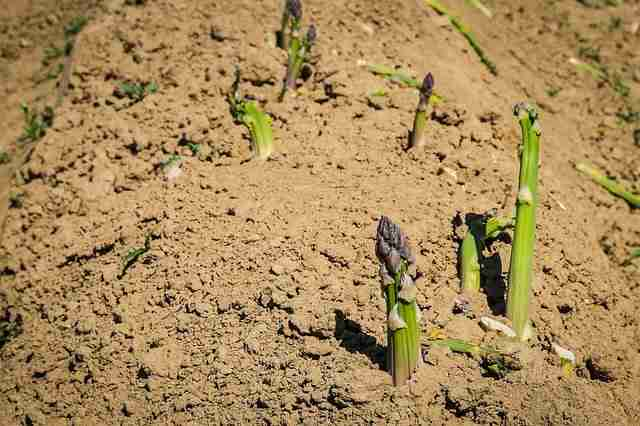 asparagus coming throught the ground