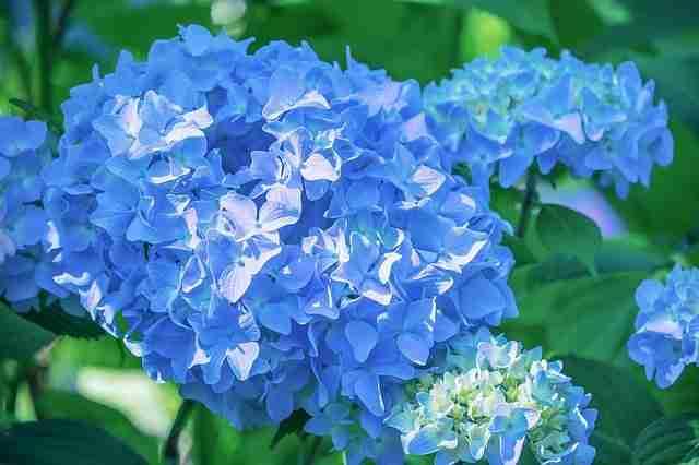 blue hydrangea  in acid ericaceous compost