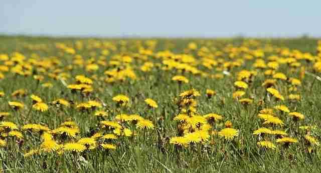 many dandelions in a grass lawn