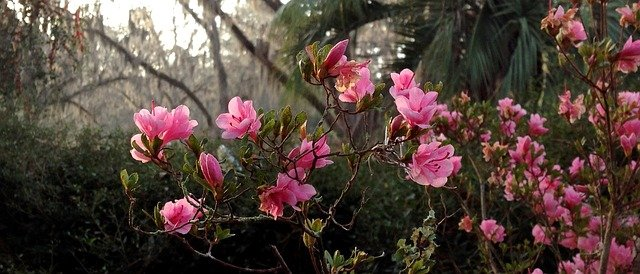 Pink azaleas bush in a garden