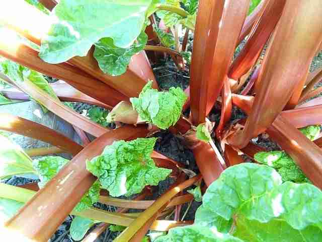 what are perennial vegetables - rhubarb