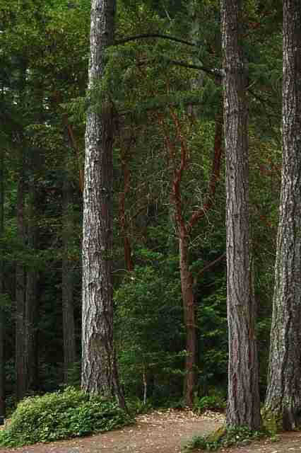 Douglas fir trees growing in a forest with straight thick trunks- fully grown