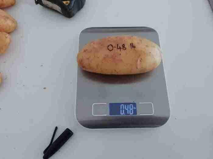 a medium large white potato on a digital scale reading 0.48lbs