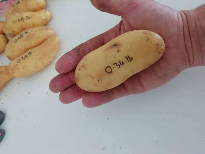 a medium sized white potato in the palm of a hand with its weight 0.34 lbs written on the potato