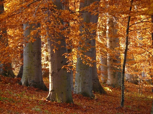 american beech trees in a forest with rusty coloured leaves