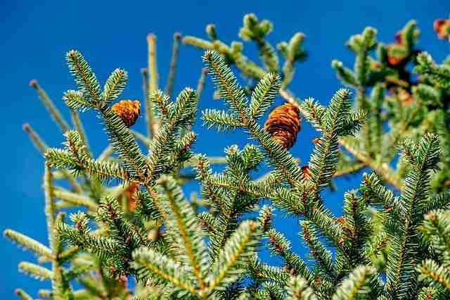 Fraser fir showing the cones growing upwards