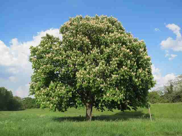 fully grown horse chestnut tree in a grass field