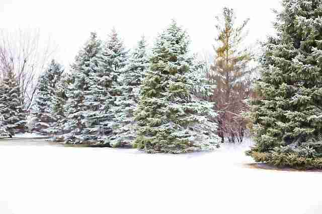 large christmas trees growing outdoors in the snow