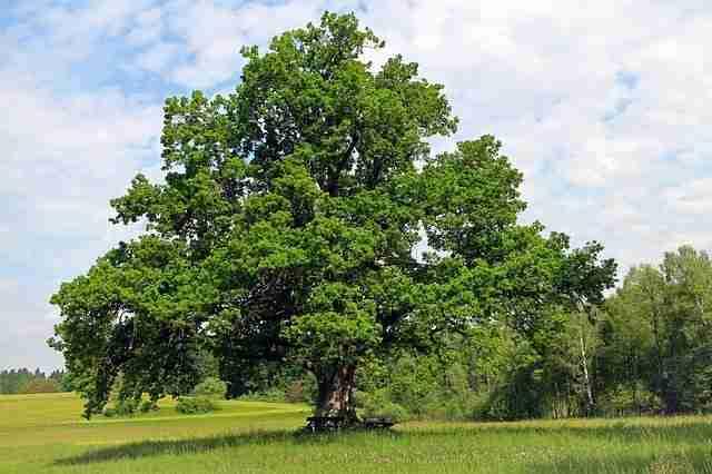 Oak tree in a grass field on its own