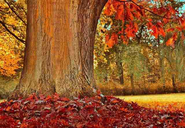 a red oak in a forest with red leaves