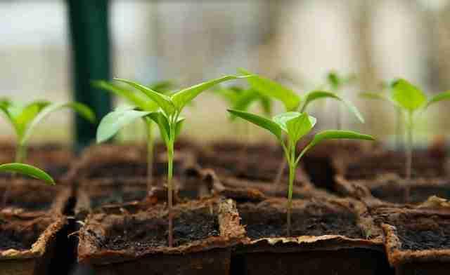 vegetable seedlings planted in single pots to ensure proper spacing