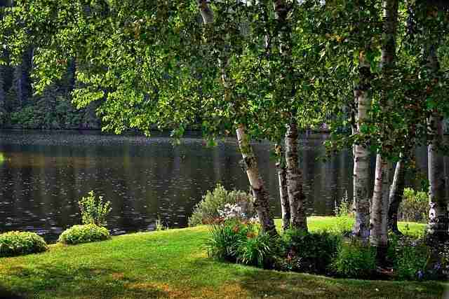 Silver birch trees in a cluster beside a lake